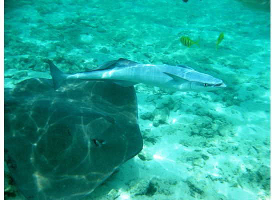 stingray and suckerfish